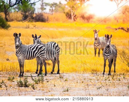 Zebras standing and watching in Okavango Delta in dry season, Moremi Game Reserve, Botswana, Africa.