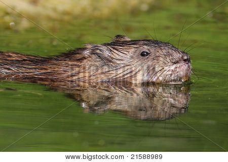 Muskrat swimming in river