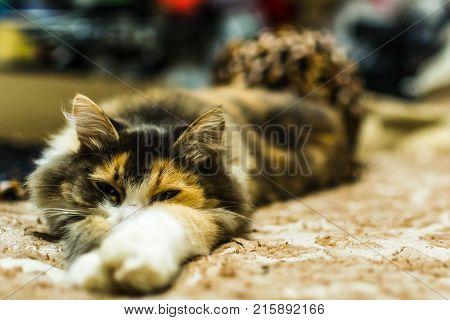 Lazycat