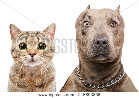 Portrait of a pit bull and Scottish Straight  cat, isolated on white background