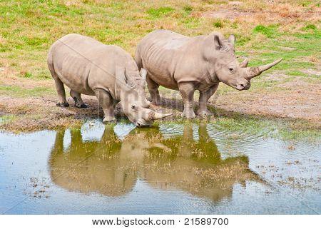 Two Rhinozeros Drinking At Lake