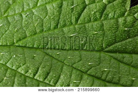 Nettle Defensive Hairs With Irritants