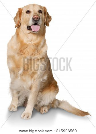 Golden labrador retriever golden retriever domestic animal gun dog yellow