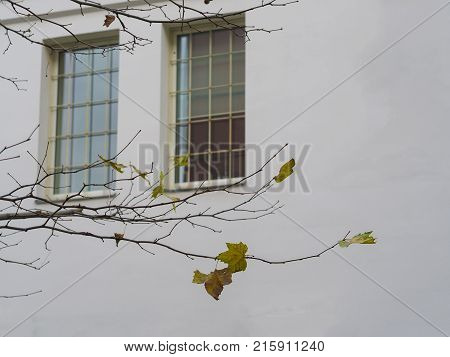 close up maple tree branch with only few yellow leaves left on background white wall with two window with bars concept of lack of freedom oppression or prison lock up