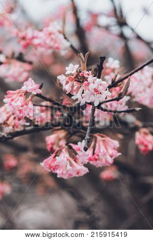 Dainty pink blossom on a tree branch with clusters of tubular flowers in a close up shallow dof view