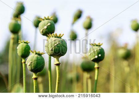 poppy heads with drops of opium milk
