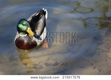 Duck drake.Waterfowl on the lake.Green bird head