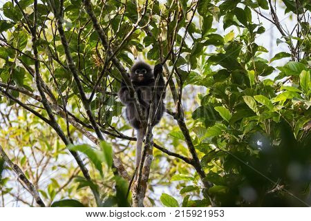 Dusky Leaf Monkey, also called spectacled langur, spectacled leaf monkey, primate sitting on tree branch in the forest at Fraserâ hill, Malaysia, Asia (Trachypithecus obscurus)