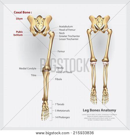 Human Anatomy Leg Bones Education Vector Illustration