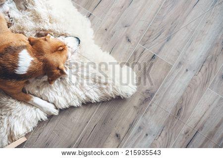 Sleepy Beagle dog sleeps on sheepskin .