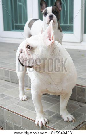 French bulldog on the floor or unaware dog