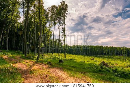 forest road among tall trees on a large meadow. beautiful nature scenery in springtime