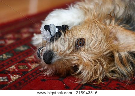 A hairy terrier mongrel dog playing with a rope rug toy whilst lying on a rug