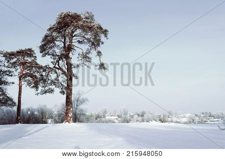 Winter landscape. Frosty high pine winter trees in winter forest and houses on the background in cold winter day. Snowy winter landscape scene, winter nature in cold sunny day. Winter forest background. Winter landscape