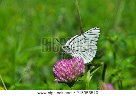 Aporia crataegi, Black Veined White butterfly feeding on wild flower with a beautiful green background