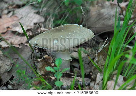 Toadstool (Amanita pantherina) mushroom in the forest. Beautiful and poisonous mushroom amanita pantherina