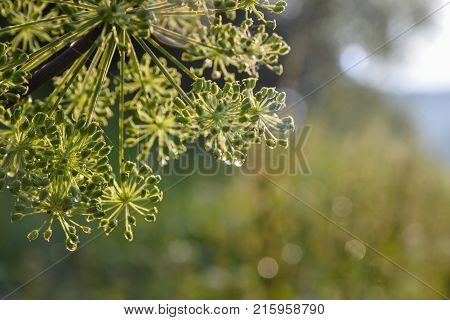 Closeup of an umbel of garden angelica flower with drops of water.