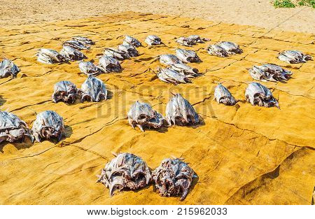 The process of sundrying of fish on Bentota sand beach Sri Lanka.