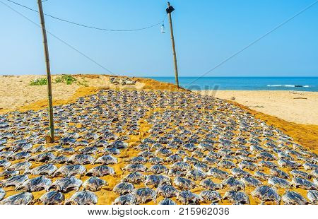 The local fishermen use the sand beach for the fish sundry process Bentota Sri Lanka.