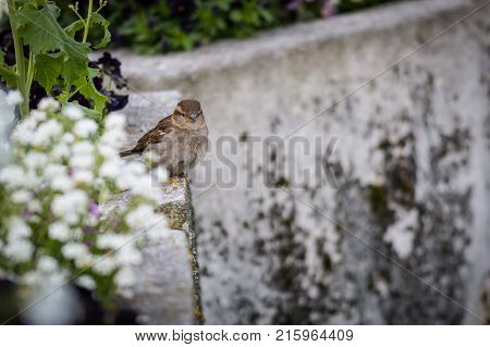 Urban birds in the city, Passer domesticus. Female sparrows perched on a wall in the middle of the flowers.