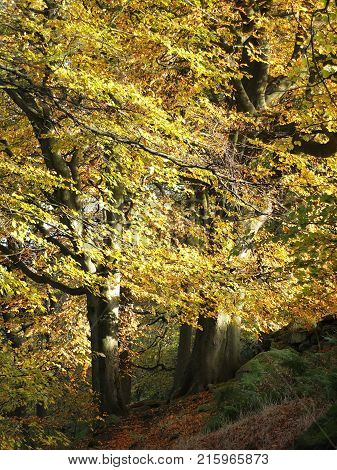 atwo large beech trees in woodland neat a path in fall colours with stone wall and fallen leaves