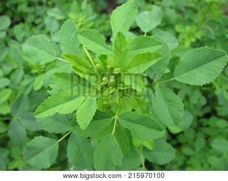 Green melilotus officinalis plant in a garden