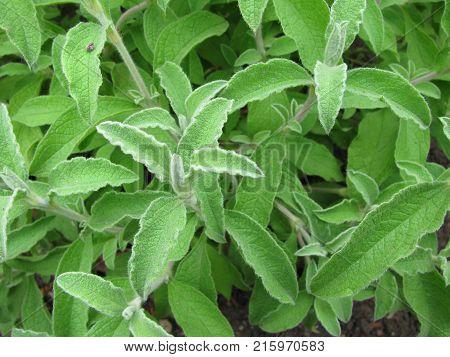 Green cistus incanus plant in a garden