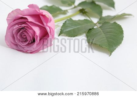 Pink rose laying isolated on white background
