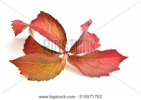 Parthenocissus inserta plant over white background thicket creeper and or grape woodbine
