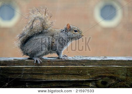 Squirrel is under the rain; dry squirrel poster