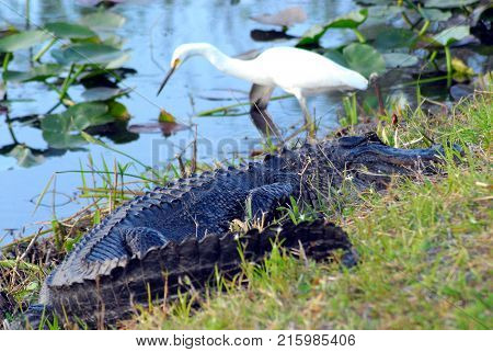 Predator and prey. . . a Snowy Egret and an alligator eyeing each other in the Florida Everglades