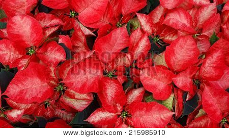 Beautiful Red Poinsettia Euphorbia pulcherrima Flowers. Nature background. Lot Nochebuena plants growing in the garden and that bloom in winter used to decorate the homes before Christmas. Top view