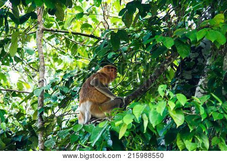 Proboscis monkey or long nosed monkey (Nasalis larvatus) sit on the tree in the jungles of Borneo. Malaysia.
