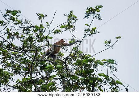 Proboscis monkey or long nosed monkey (Nasalis larvatus) crawls on tree in the jungles of Borneo. Malaysia.