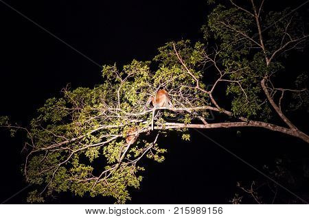Proboscis monkey or long nosed monkey (Nasalis larvatus) sleep at night on a tree in the jungles of Borneo. Malaysia.