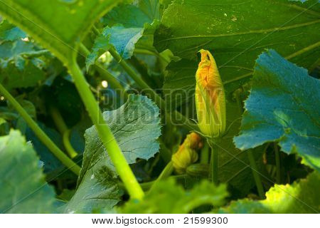 Closed Zucchini Flower
