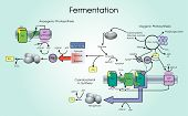 Fermentation is a metabolic process that converts sugar to acids gases or alcohol. It occurs in yeast and bacteria and also in oxygen-starved muscle cells as in the case of lactic acid fermentation. Chart vector. poster