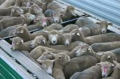 New Zealand sheep being transported in container. poster