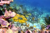 caribbean coral reef in Mayan Riviera with Grunt fish yellow blue stripes poster