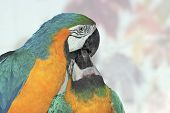 Blue and gold Macaw or Blue-and-yellow Macaw (Ara ararauna) the kiss poster