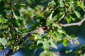 Cedar waxwing eats service berries from atop a tree poster