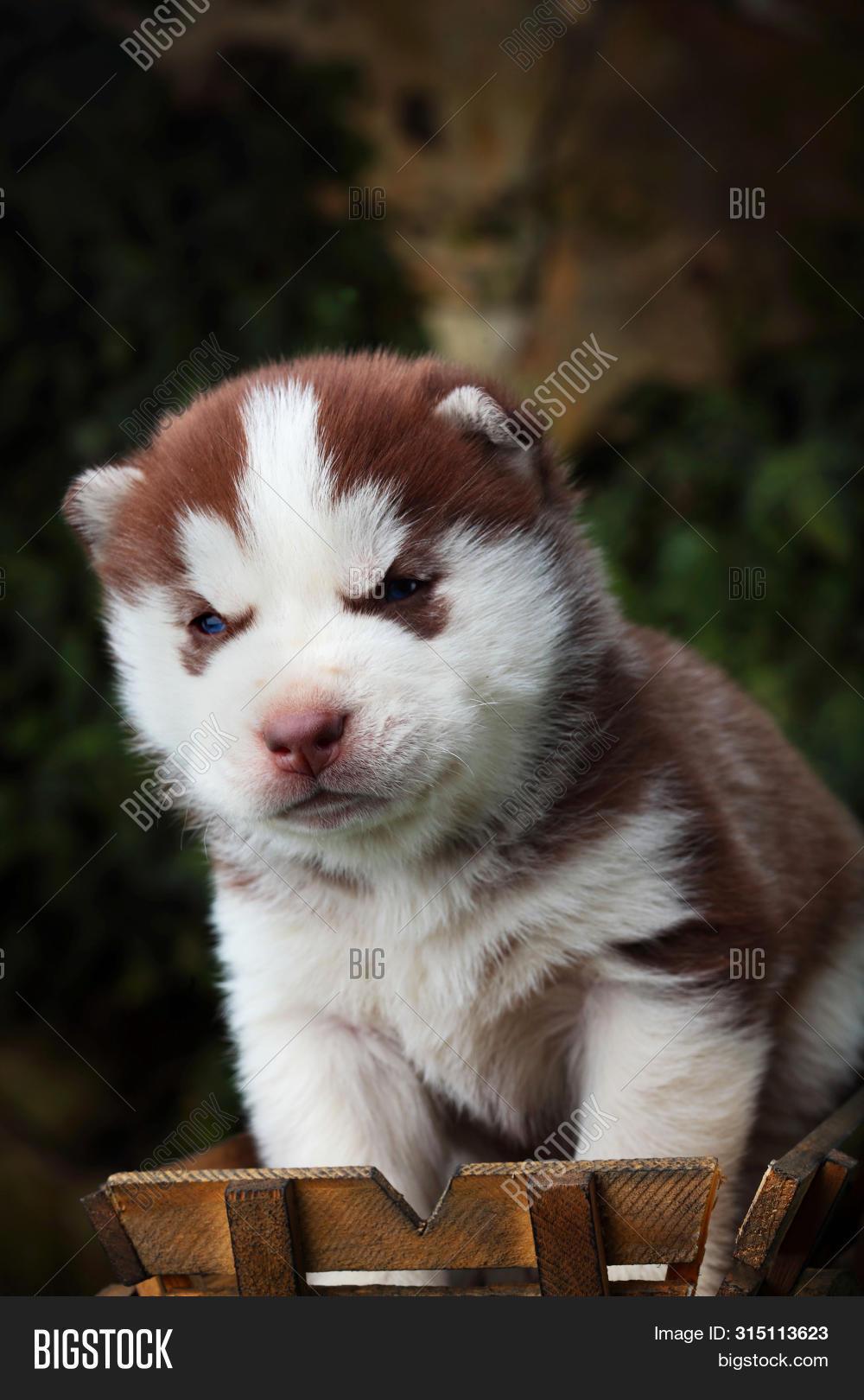Siberian Husky Little Image Photo Free Trial Bigstock