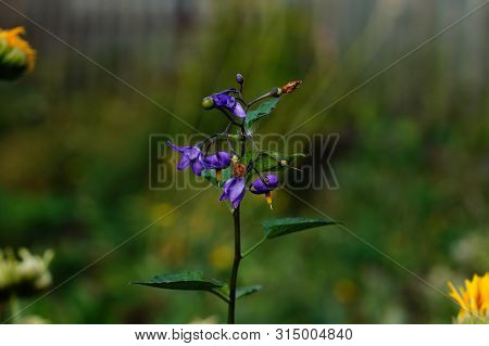 Bright Purple Flowers Of Weeds Nightshade Black, Close-up.flowering Plant Nightshade Black. Bright B