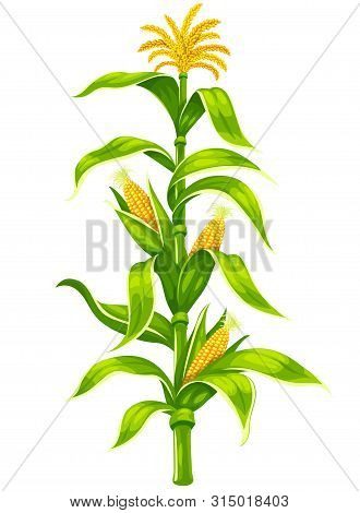 Set Of Ripe Maize Corncobs With Yellow Corns Ears And Green Leaves On Plant Stem Set, Vegetable Isol