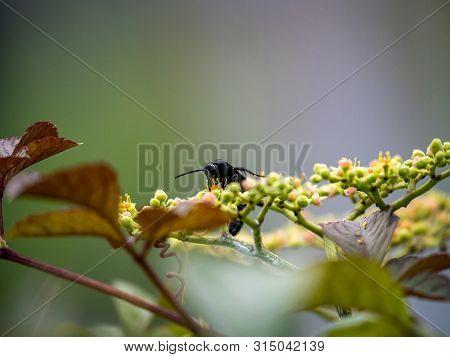 A Scolia Oculata, キオ