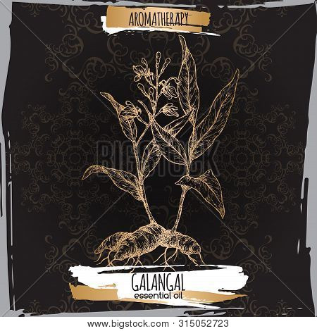 Alpinia Galanga Aka Greater Galangal Sketch On Elegant Black Lace Background.