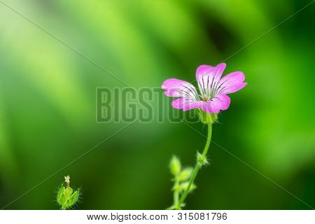 Beautiful Purple Wild Forest Flower. Geranium Robertianum, Or Herb-robert, Red Robin, Death Come Qui