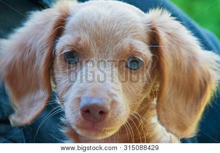 Photograph Of A Blonde, Blue-eyed, Longhair Dachshund Puppy.