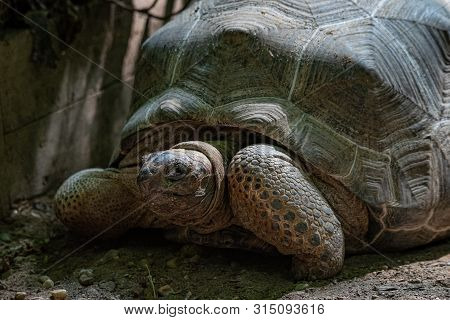 Large Terrestrial Turtle, The Aldabra Giant Tortoise, Aldabrachelys Gigantea, From The Islands Of Th