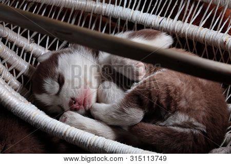 Newborn Siberian Husky Sleep.puppy Siberian Husky.siberian Husky Copper Color.sleep On Brown Carpet